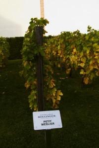 Petit meslier in een experimentele wijngaard bij Bollinger