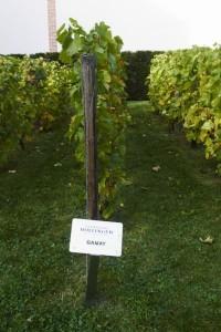 Gamay in een experimentele wijngaard van Bollinger