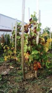 druivenstokken à la française